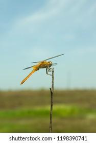 Female Scarlet Skimmer(Crocothemis servilia) dragonfly rests on stick
