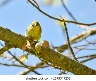 A female scarlet tanager perched on a tree branch in Spring.