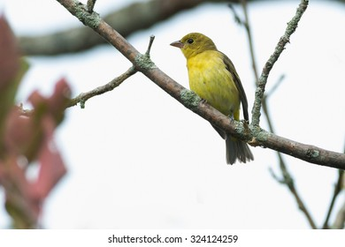 Female Scarlet Tanager perched at the top of a tree.