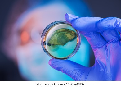 Female scientist analyzing growing bacterial cultures in petri dish in laboratory, science and microbiology background
