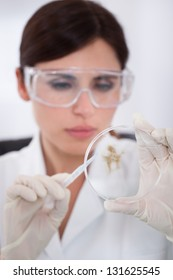 Female Scientist With Protective Glasses Looking At Petridish