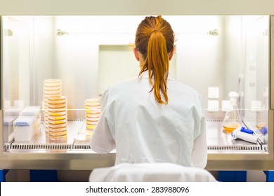 Female scientist researching in laboratory, pipetting cell culture medium samples in laminar flow. Life science professional grafting bacteria in the pettri dishes.