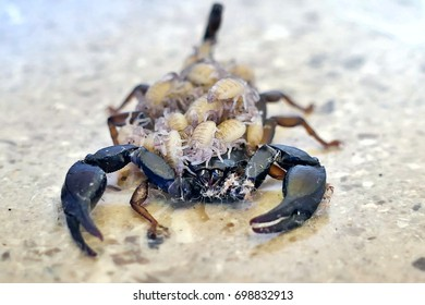 A female scorpion carrying its offspring on its back - front view
