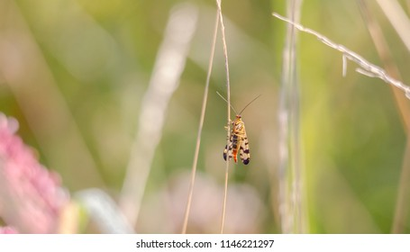 A female scorpion fly sits at a blade of grass in a meadow