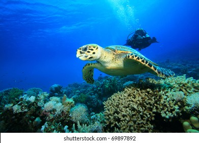 Female Scuba Diver takes a photograph of a Hawksbill Sea Turtle swimming over a coral reef