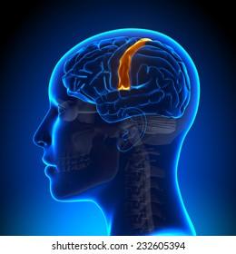 Female Sensorimotor Area - Anatomy Brain