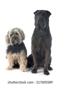 female shar pei and yorkshire terrier in front of white background