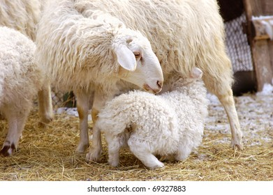a female sheep feeds its suckling lamb