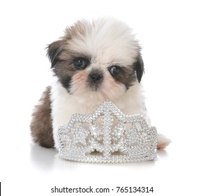 female shih tzu puppy laying inside a tiara on white background