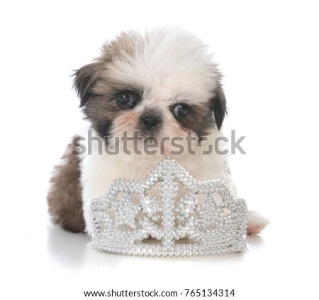 Female Shih Tzu Puppy Laying Inside Stock Photo Edit Now 765134314