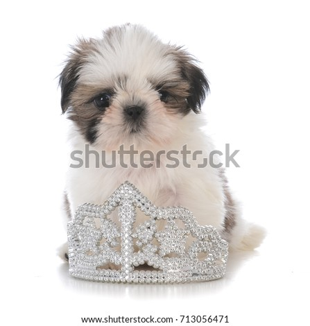 Female Shih Tzu Puppy Sitting Inside Stock Photo Edit Now