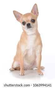 female short haired chihuahua sitting on white background