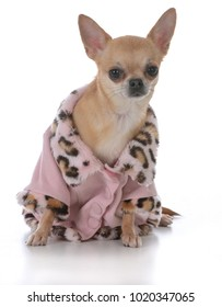 female short haired chiuhuahua wearing a pink coat on white background