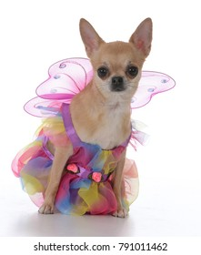 female short haired chiuhuahua wearing a fairy dress on white background