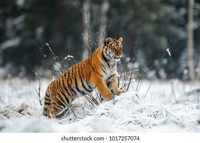 female Siberian tiger is looking into the country full of snow