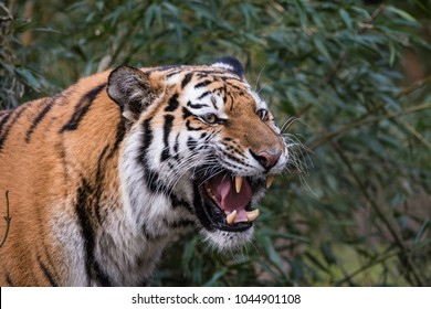 Female siberian tiger standing in front of a bush while roaring