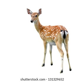 female sika deer isolated on white background