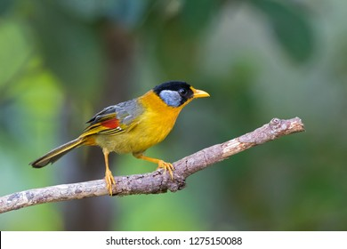 Female Silver-eared mesia bird in bright yellow feathers, colorful wing perching on branch with blurred background (Leiothrix argentauris)