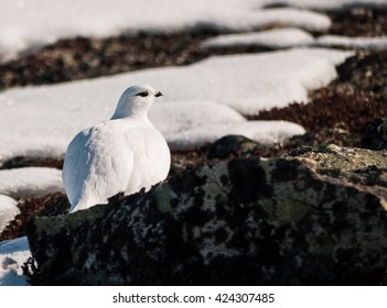 Female single snow grouse resting on a snow scattered ground in the Norwegian highland