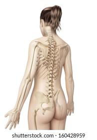 female skeleton from behind
