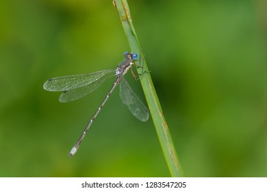 Female Slender Spreadwing Damselfly perched on a blade of grass. Rouge National Urban Park, Toronto, Ontario, Canada.