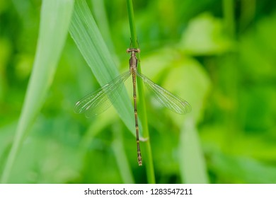 Female Slender Spreadwing Damselfly perched on a grass stem. Colonel Samuel Smith Park, Toronto, Ontario, Canada.