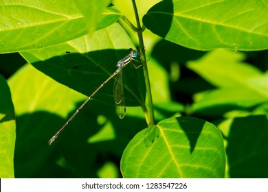 Female Slender Spreadwing Damselfly perched on a stem. Rouge National Urban Park, Toronto, Ontario, Canada.