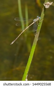 Female Slender Spreadwing Damselfly perched on a thin stem. Taylor Creek Park, Toronto, Ontario, Canada.