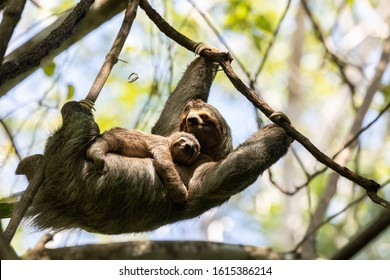 A female sloth with her cub hangs on a branch in the Costa Rican jungle