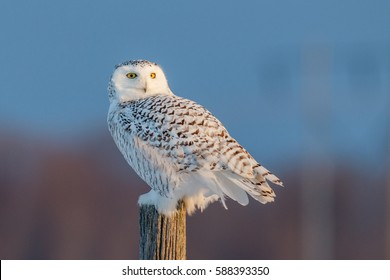 Female snowy owl stands on a post looking backward