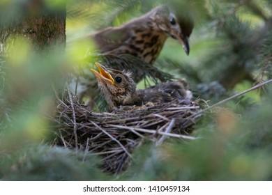 female of song thrush feeding her little birdie