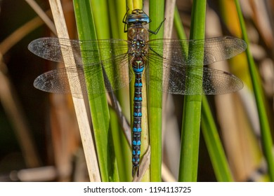 Female Southern Hawker Dragonfly resting on a leaf, Norfolk, UK