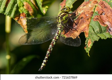 Female Southern Hawker Dragonfly resting on a leaf, Buscot Oxfordshire, UK