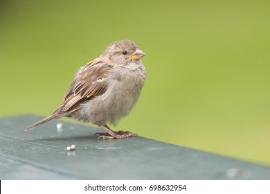 a female sparrow on a picknick table standing on the grass. The bird is waiting to get fed some bread crumbs. This makes her look very tame.
