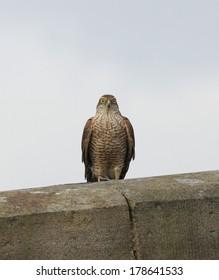 Female Sparrowhawk perched on old bridge