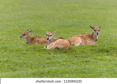Female species of Common Eland Antelope lying in grasslands