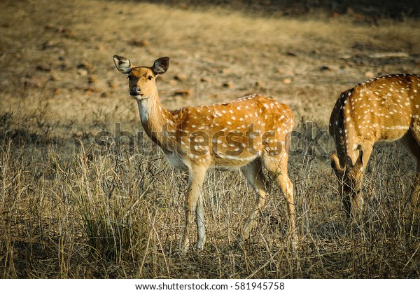 Female spotted deer in the forest.
