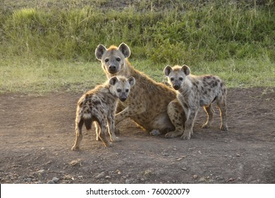 Female spotted hyena with her cubs, Masai Mara Game Reserve, Kenya