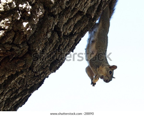 Female squirrel hanging from a tree