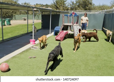 A female staff member at a kennel supervises several large dogs playing together.