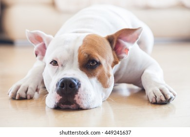 Female Stafford Dog at home