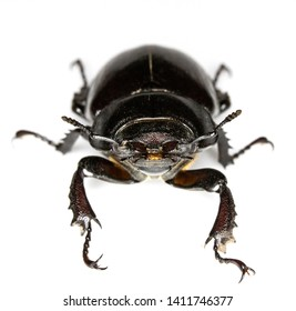 Female Stag Beetle Insect On White Background Close Up