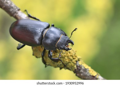 Female of the stag beetle on a close up picture in its natural environment - sitting on the branch. A rare and endangered beetle species with large mandibles, occurring in Europe. Lucanus cervus