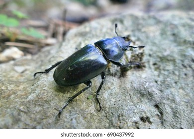 Female stag beetle on rock