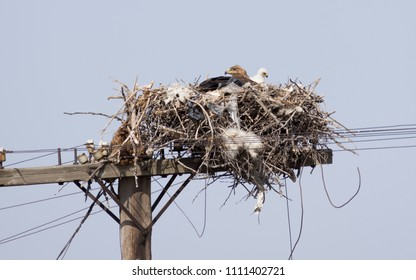 A female steppe eagle with a nestling in a nest on a telegraph pole