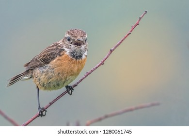 Female stonechat (Saxicola torquata) isolated against a natural (yellow gorse flowers) background. Mouth open, calling to partner. Pembrokeshire, Wales, May.