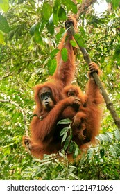 Female Sumatran orangutan with a baby hanging in the trees, Gunung Leuser National Park, Sumatra, Indonesia. Sumatran orangutan is endemic to the north of Sumatra and is critically endangered.