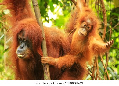 Female Sumatran orangutan with a baby sitting on a tree in Gunung Leuser National Park, Sumatra, Indonesia. Sumatran orangutan is endemic to the north of Sumatra and is critically endangered.