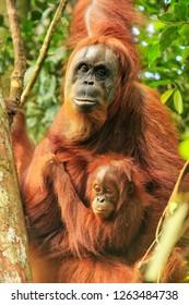 Female Sumatran orangutan with a baby sitting on a tree in Gunung Leuser National Park, Sumatra, Indonesia. Sumatran orangutan is endemic to the north of Sumatra and is critically endangered.