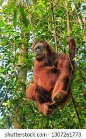 Female Sumatran orangutan (Pongo abelii) sitting in a tree in Gunung Leuser National Park, Sumatra, Indonesia. Sumatran orangutan is endemic to the north of Sumatra and is critically endangered.